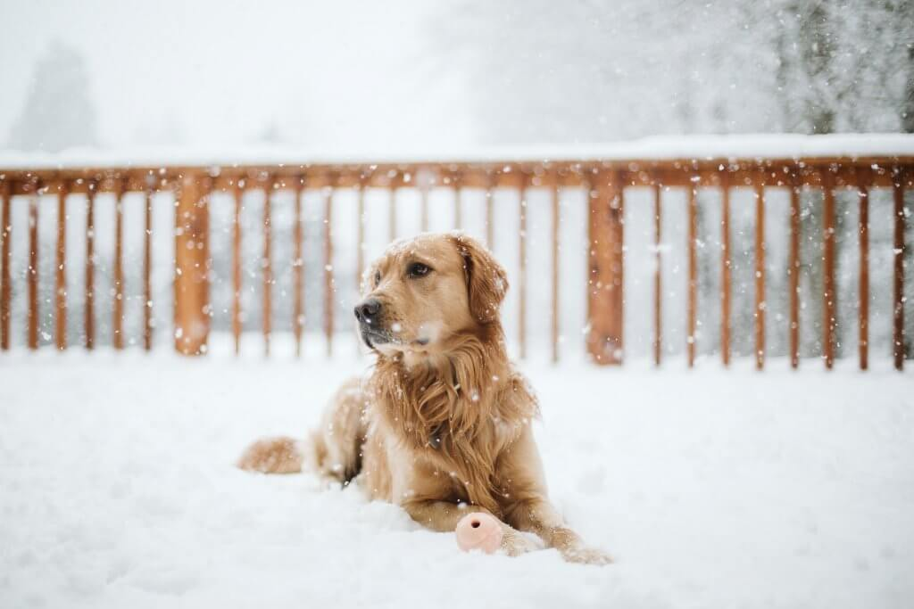 Golden retriever lays in snow with ball in washington