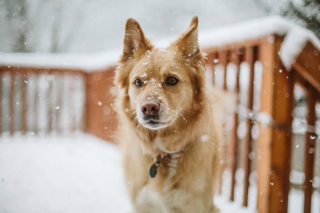 Golden dog stands on snowy porch in washington